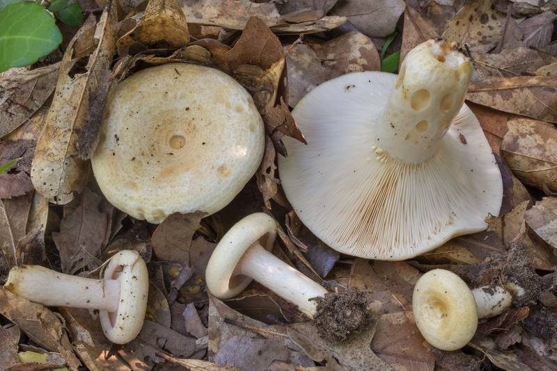 "Milkcap mushrooms <B>Lactarius maculatipes</B> in Lick Creek Park. College Station, Texas, <A HREF=""../date-en/2020-06-05.htm"">June 5, 2020</A>"