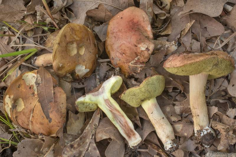 "Dissected bolete mushrooms <B>Hemileccinum subglabripes</B>(?) in Lick Creek Park. College Station, Texas, <A HREF=""../date-en/2020-06-05.htm"">June 5, 2020</A>"