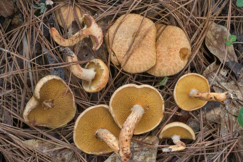 "Bolete mushrooms <B>Suillus decipiens</B> under pines on Stubblefield section of Lone Star hiking trail north from Trailhead No. 6 in Sam Houston National Forest. Texas, <A HREF=""../date-en/2020-06-06.htm"">June 6, 2020</A>"
