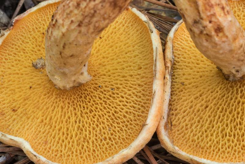 "Underside of bolete mushrooms <B>Suillus decipiens</B> on Stubblefield section of Lone Star hiking trail north from Trailhead No. 6 in Sam Houston National Forest. Texas, <A HREF=""../date-en/2020-06-06.htm"">June 6, 2020</A>"