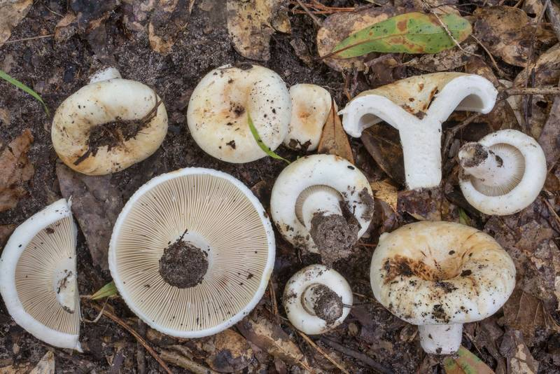 "Milkcap mushrooms <B>Lactifluus subvellereus</B> in cross section on Caney Creek section of Lone Star Hiking Trail in Sam Houston National Forest north from Montgomery. Texas, <A HREF=""../date-en/2020-06-07.htm"">June 7, 2020</A>"