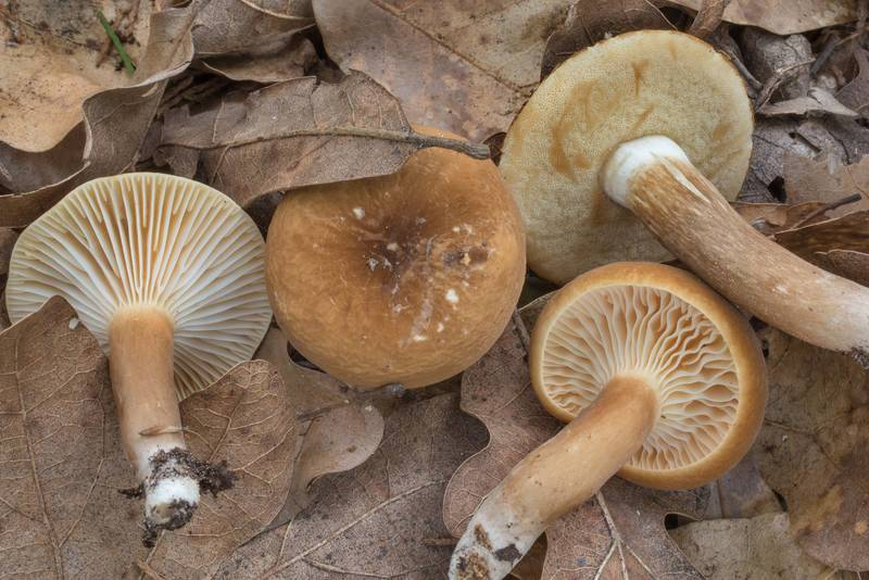 "Velvet milkcap mushrooms (Lactarius lignyotus)(?) together with <B>Xanthoconium affine</B> in Lick Creek Park. College Station, Texas, <A HREF=""../date-en/2020-06-09.htm"">June 9, 2020</A>"