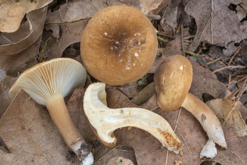 Dissected milkcap mushrooms (Lactarius ruginosus(?)) in Lick Creek Park. College Station, Texas, June 9, 2020