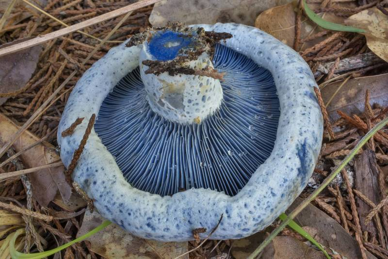 Underside of blue milkcap mushroom (Lactarius indigo) in Lick Creek Park. College Station, Texas, June 9, 2020
