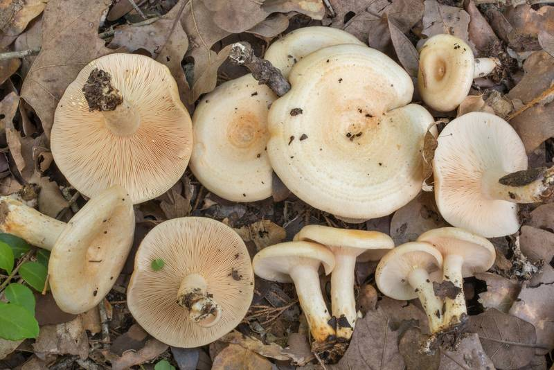 Milkcap mushrooms Lactarius maculatipes in Lick Creek Park. College Station, Texas, June 9, 2020