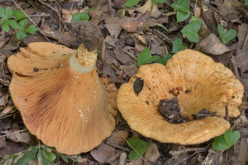 Large brown milkcap mushrooms Lactarius psammicola on Yaupon Trail in Lick Creek Park. College Station, Texas, June 10, 2020