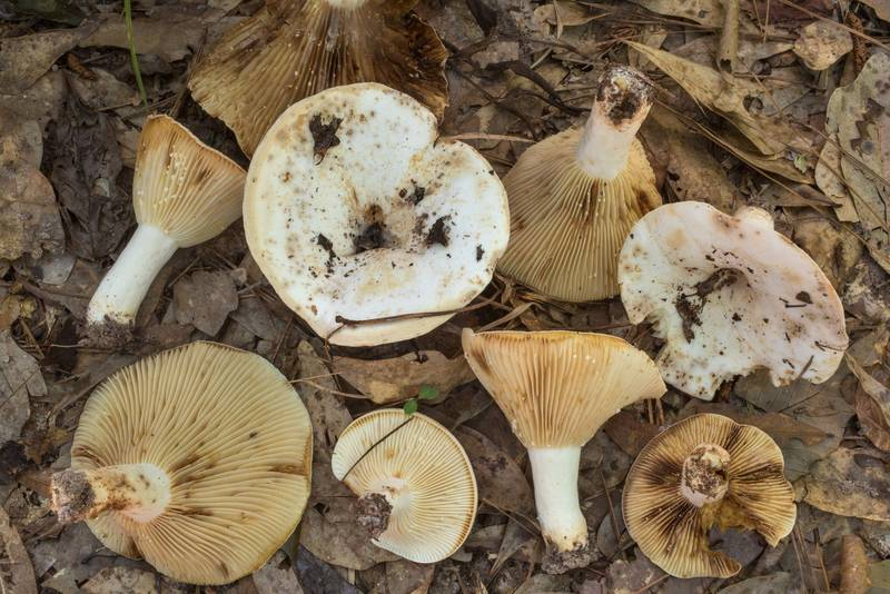 Milkcap mushrooms Lactifluus luteolus in area of Winters Bayou in Sam Houston National Forest, east from Waverly. Texas, June 11, 2020