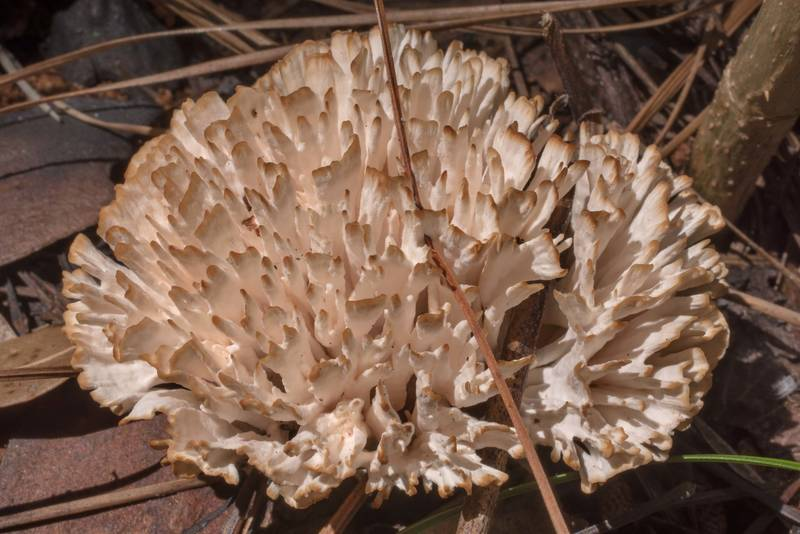 Jellied false coral mushroom (Tremellodendron schweinitzii) grown in area of recent prescribed burn in area of Winters Bayou in Sam Houston National Forest, east from Waverly. Texas, June 11, 2020