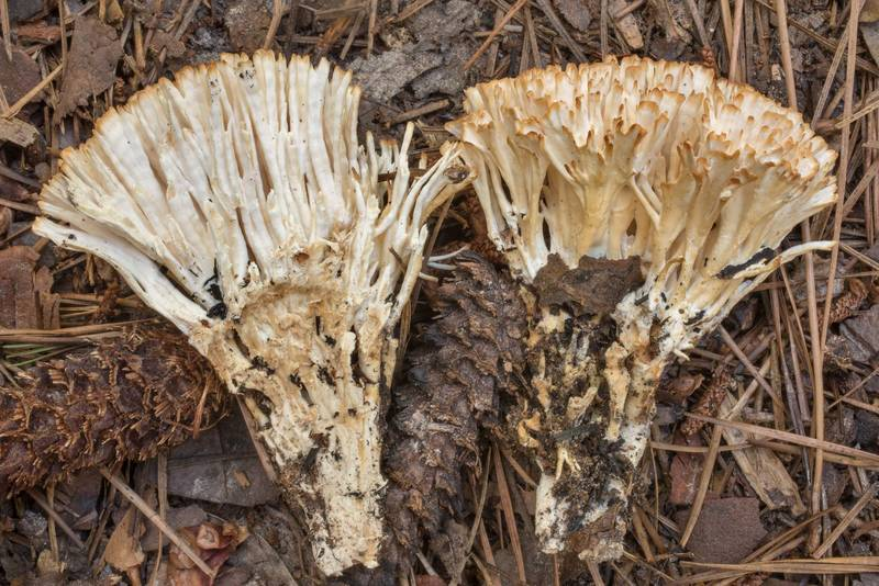 Cut by halves jellied false coral mushroom (Tremellodendron schweinitzii) in area of Winters Bayou in Sam Houston National Forest, east from Waverly. Texas, June 11, 2020