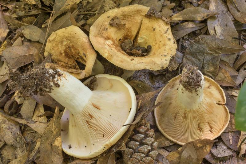 Large partially dried milkcap (Lactarius) mushrooms in area of Winters Bayou in Sam Houston National Forest, east from Waverly. Texas, June 11, 2020