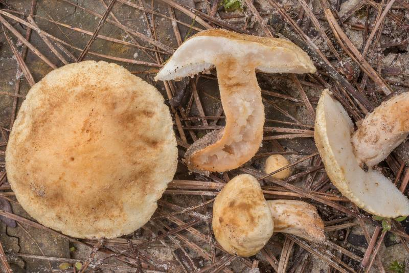 "Bolete mushrooms <B>Gyroporus subalbellus</B> or may be G. roseialbus under pines on Richards Loop Trail in Sam Houston National Forest. Texas, <A HREF=""../date-en/2020-06-27.htm"">June 27, 2020</A>"