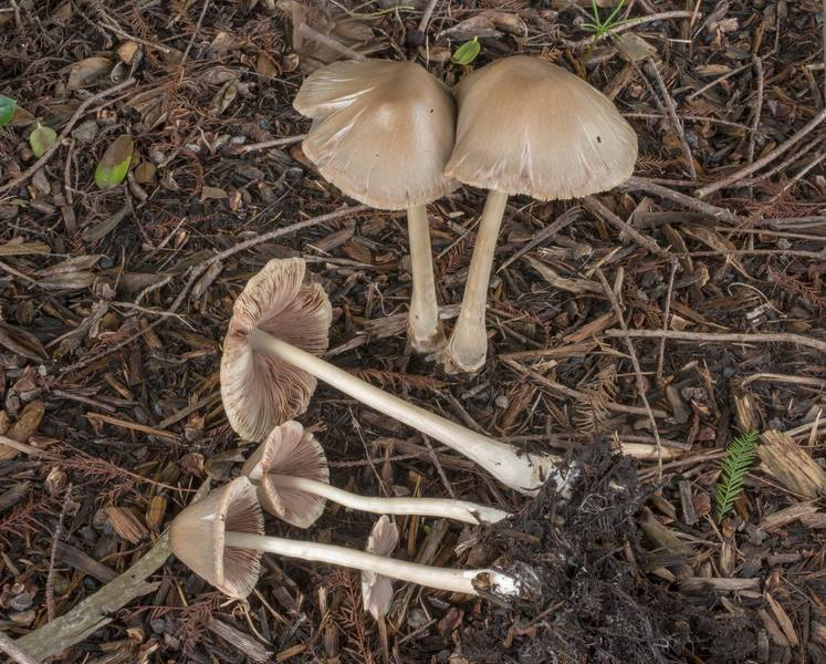 Stubble rosegill mushrooms (Volvopluteus gloiocephalus) on mulch under a swamp cypress on a lawn on George Bush Drive. College Station, Texas, June 28, 2020