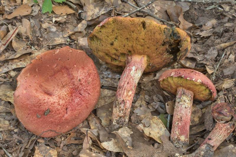 Bolete mushrooms Butyriboletus floridanus in Lick Creek Park. College Station, Texas, July 5, 2020