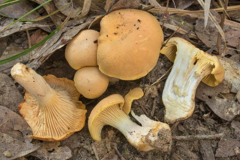 "Dissected chanterelle mushrooms (<B>Cantharellus cibarius</B> group) in Lick Creek Park. College Station, Texas, <A HREF=""../date-en/2020-07-05.htm"">July 5, 2020</A>"