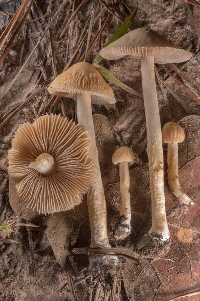 "Small fieldcap mushrooms <B>Agrocybe retigera</B> taken from grass near the trail on Richards Loop Trail in Sam Houston National Forest. Texas, <A HREF=""../date-en/2020-07-28.htm"">July 28, 2020</A>"