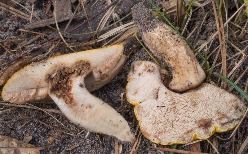 "Dissected bolete mushroom <B>Tylopilus rhodoconius</B> on Stubblefield section of Lone Star hiking trail north from Trailhead No. 6 in Sam Houston National Forest. Texas, <A HREF=""../date-en/2020-07-31.htm"">July 31, 2020</A>"
