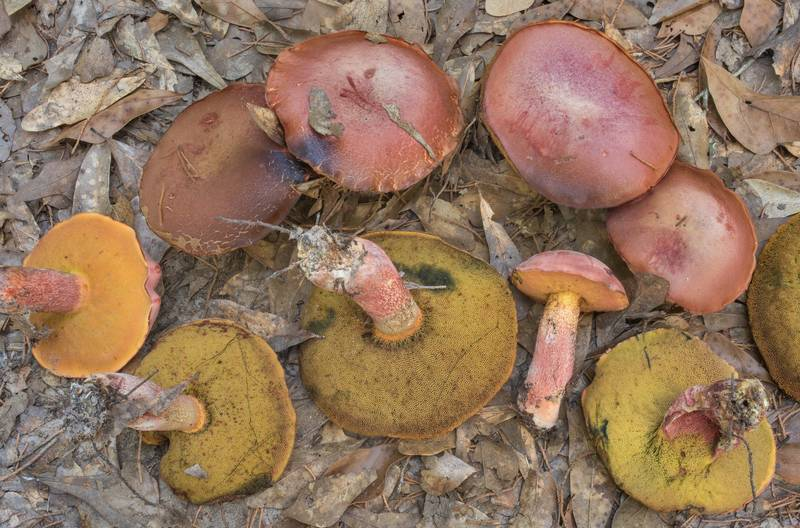 "Bolete mushrooms <B>Butyriboletus floridanus</B> under oaks in Lick Creek Park. College Station, Texas, <A HREF=""../date-en/2020-08-08.htm"">August 8, 2020</A>"