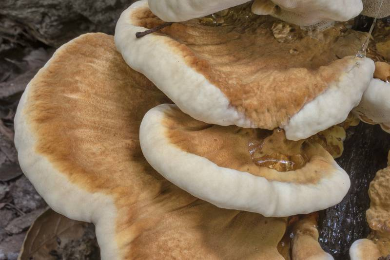 "Velvety surface of resinous polypore mushrooms (<B>Ischnoderma resinosum</B>) on an oak stump in Lick Creek Park. College Station, Texas, <A HREF=""../date-en/2020-08-08.htm"">August 8, 2020</A>"