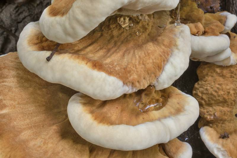 "Thick brown velvety caps of resinous polypore mushrooms (<B>Ischnoderma resinosum</B>) on an oak stump in Lick Creek Park. College Station, Texas, <A HREF=""../date-en/2020-08-08.htm"">August 8, 2020</A>"