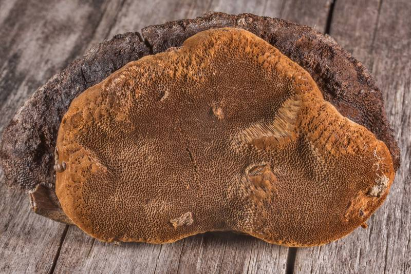"Bracket polypore mushroom Fomitiporia texana (<B>Fomitiporia robusta</B>) taken from a fry red cedar tree in Washington-on-the-Brazos State Historic Site. Washington, Texas, <A HREF=""../date-en/2020-08-15.htm"">August 15, 2020</A>"
