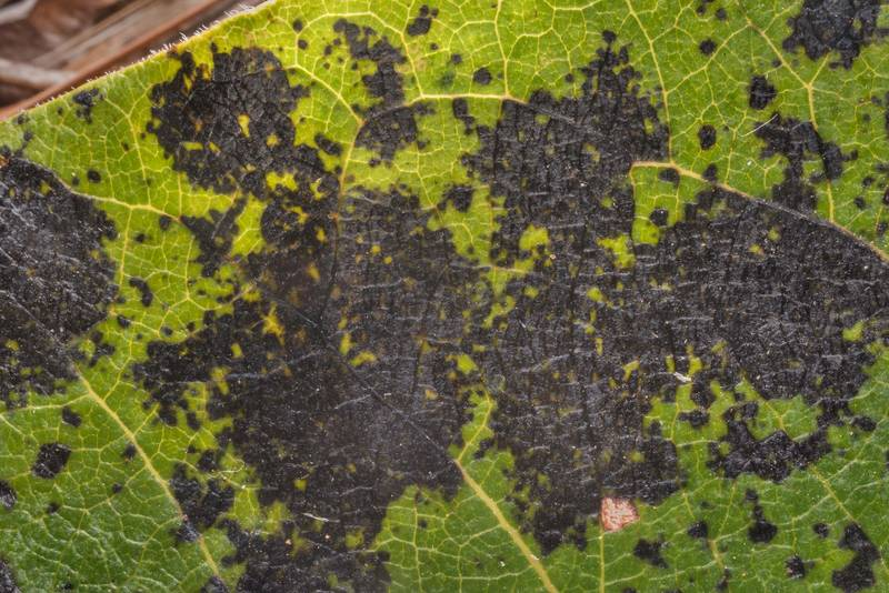 "Black blotches on the leaf of persimmon (Diospyros virginiana) caused by Cercospora leaf spot fungus <B>Pseudocercospora diospyricola</B> on Richards Loop Trail in Sam Houston National Forest. Texas, <A HREF=""../date-en/2020-08-21.htm"">August 21, 2020</A>"