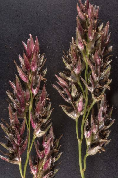 "Sorghum ergot fungus (<B>Claviceps africana</B>) on inflorescence of johnsongrass taken from Bee Creek Park. College Station, Texas, <A HREF=""../date-en/2020-08-27.htm"">August 27, 2020</A>"