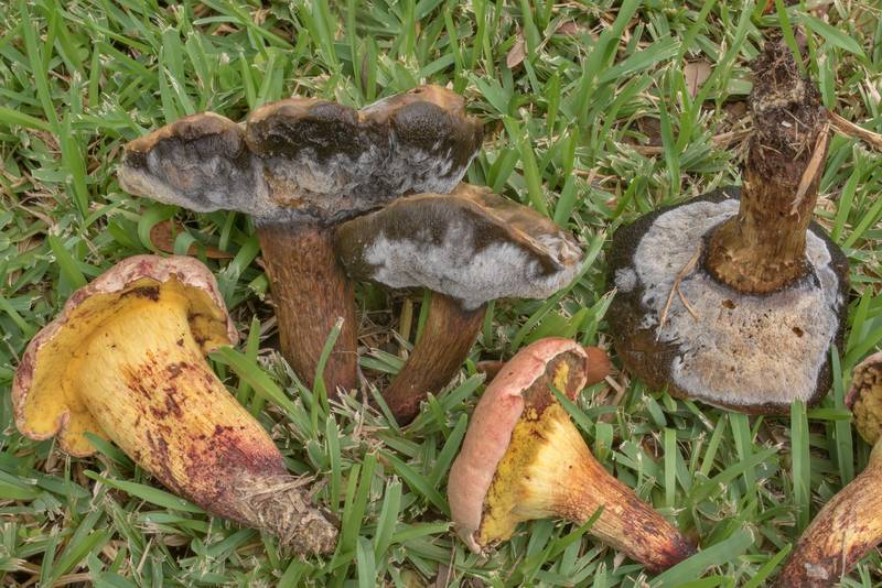 "Bolete mushrooms <B>Boletus luridellus</B> with Hypomyces on a grassy lawn in Washington-on-the-Brazos State Historic Site. Washington, Texas, <A HREF=""../date-en/2020-09-05.htm"">September 5, 2020</A>"