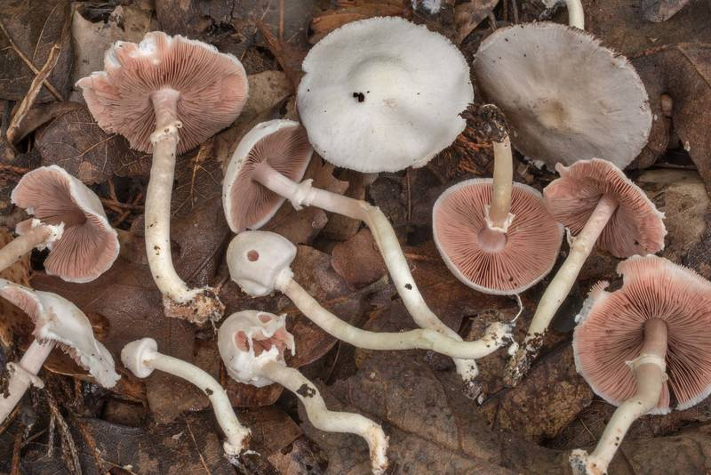 "<B>Agaricus pocillator</B> mushrooms under trees in David E. Schob Nature Preserve at 906 Ashburn Street. College Station, Texas, <A HREF=""../date-en/2020-09-09.htm"">September 9, 2020</A>"