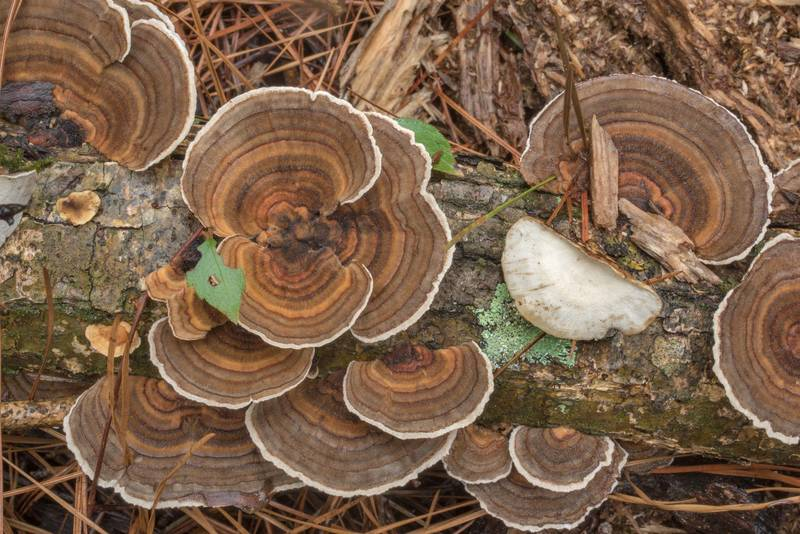 "Turkeytail polypore mushrooms (<B>Trametes versicolor</B>) on Caney Creek section of Lone Star Hiking Trail in Sam Houston National Forest north from Montgomery. Texas, <A HREF=""../date-en/2020-09-11.htm"">September 11, 2020</A>"