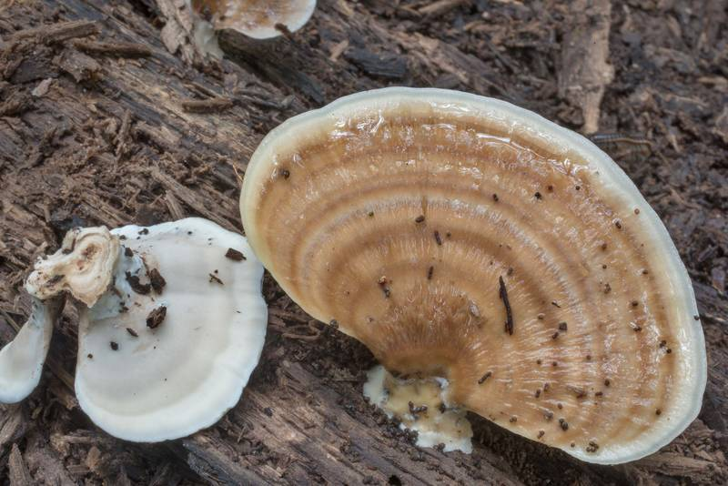 Polypore mushrooms Microporellus obovatus on a log in Big Creek Scenic Area of Sam Houston National Forest. Shepherd, Texas, September 12, 2020