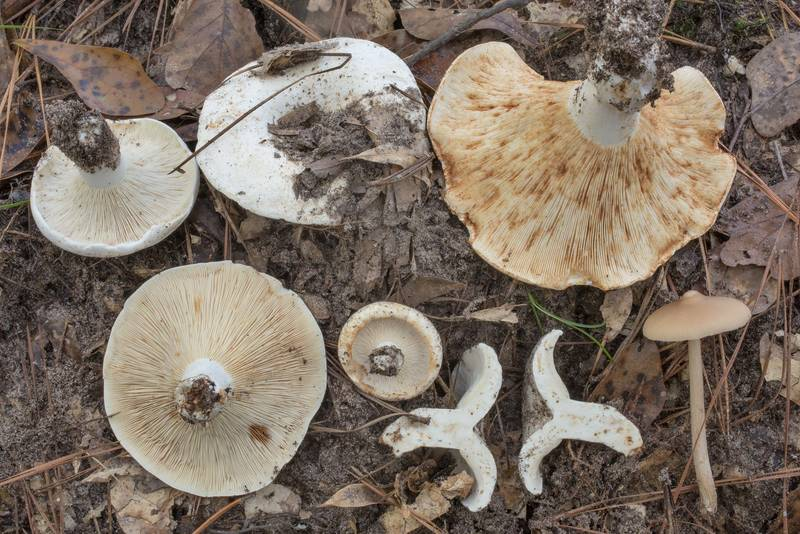 Short-stemmed russula mushrooms (stubby brittlegill, Russula brevipes) together with Entoloma strictius on Lone Star Hiking Trail south from Stubblefield Campground in Sam Houston National Forest. Montgomery, Texas, September 13, 2020