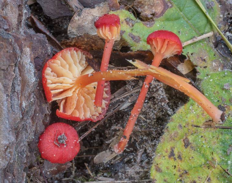 Vermilion waxcap mushrooms (Hygrocybe miniata) on Lone Star Hiking Trail south from Stubblefield Campground in Sam Houston National Forest. Montgomery, Texas, September 13, 2020