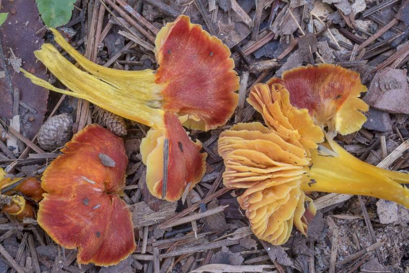 "Cross section of waxcap mushrooms <B>Hygrocybe chamaeleon</B>(?) on Lone Star Hiking Trail south from Stubblefield Campground in Sam Houston National Forest. Montgomery, Texas, <A HREF=""../date-en/2020-09-13.htm"">September 13, 2020</A>"