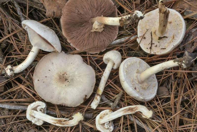 "<B>Agaricus pocillator</B> mushrooms on Lone Star Hiking Trail south from Stubblefield Campground in Sam Houston National Forest. Montgomery, Texas, <A HREF=""../date-en/2020-09-13.htm"">September 13, 2020</A>"