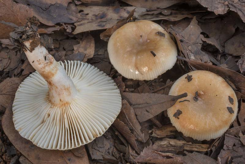 "Bitter almond brittlegill mushrooms (<B>Russula grata</B>) in leaves on a sandy path in Lick Creek Park. College Station, Texas, <A HREF=""../date-en/2020-09-15.htm"">September 15, 2020</A>"