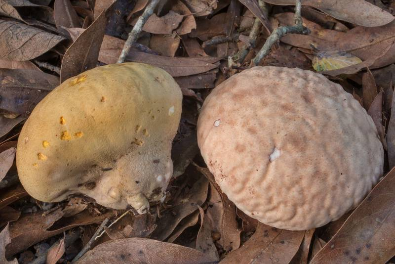 "Wrinkled surface of orange-staining puffball mushrooms (<B>Calvatia rubroflava</B>, Calvatia rugosa) in Lick Creek Park. College Station, Texas, <A HREF=""../date-en/2020-09-15.htm"">September 15, 2020</A>"