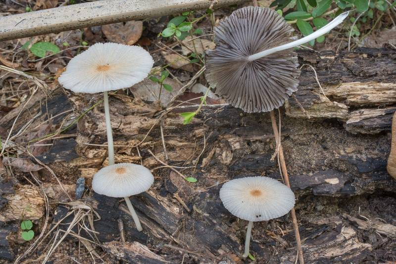 Inkcap mushrooms Coprinellus domesticus on rotting oak wood in Hensel Park. College Station, Texas, September 16, 2020