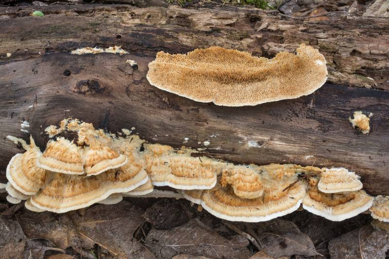 "<B>Trametopsis cervina</B> mushrooms on a log in Hensel Park. College Station, Texas, <A HREF=""../date-en/2020-09-16.htm"">September 16, 2020</A>"