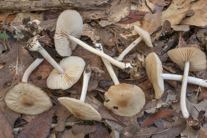 "Mushrooms <B>Marasmius nigrodiscus</B> among oak leaves in Hensel Park. College Station, Texas, <A HREF=""../date-en/2020-09-16.htm"">September 16, 2020</A>"