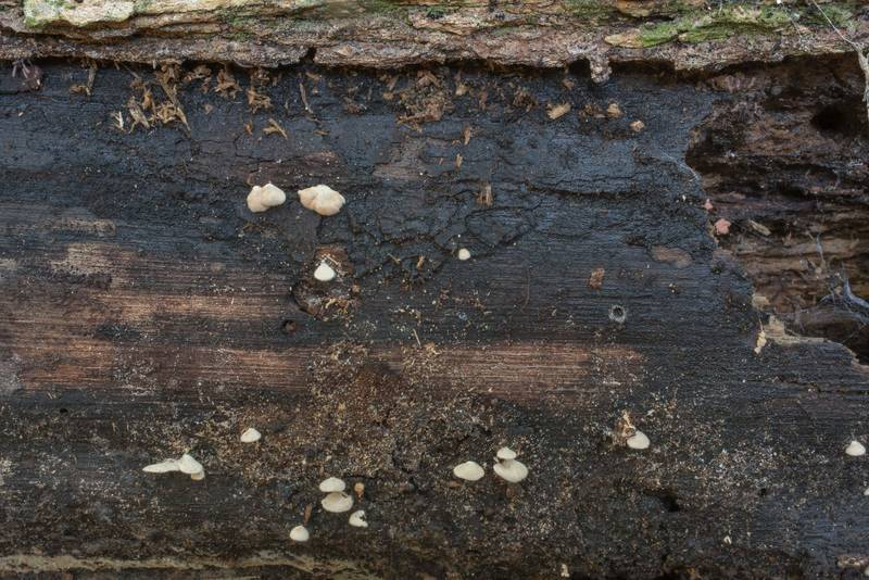 Blackened surface of an oak log with small mushrooms Entoloma parasiticum(?) in Hensel Park. College Station, Texas, September 16, 2020