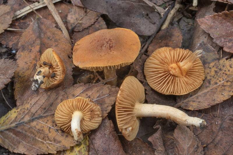 Some small brown gilled mushrooms with velvety caps on a path in a low-lying area on Caney Creek section of Lone Star Hiking Trail in Sam Houston National Forest north from Montgomery. Texas, September 17, 2020