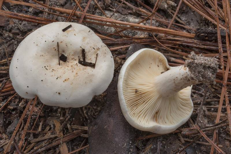 Milkcap mushroom Lactifluus subvellereus on Stubblefield section of Lone Star hiking trail north from Trailhead No. 6 in Sam Houston National Forest. Texas, September 18, 2020