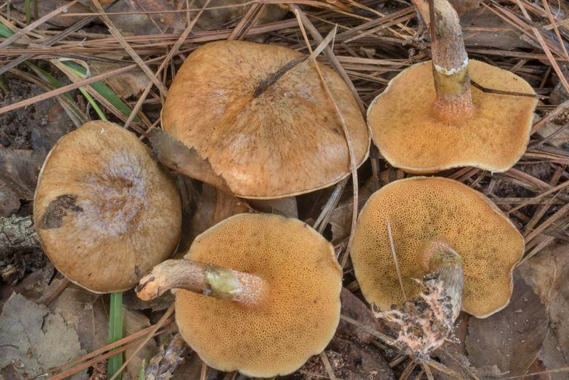Bolete mushrooms Suillus cothurnatus on Caney Creek Trail (Little Lake Creek Loop Trail) in Sam Houston National Forest north from Montgomery. Texas, September 19, 2020