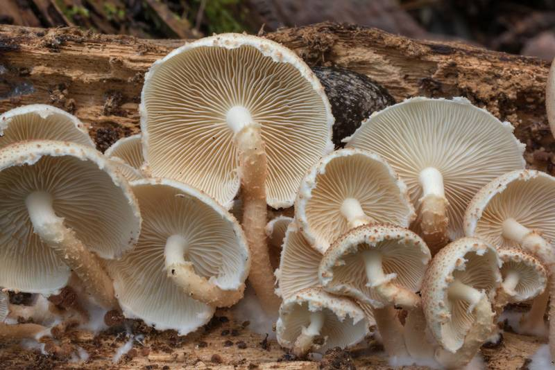 Gills of mushrooms Ripartitella brasiliensis on a fallen tree on Caney Creek Trail (Little Lake Creek Loop Trail) in Sam Houston National Forest north from Montgomery. Texas, September 19, 2020