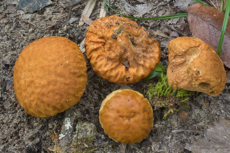 Mature orange-staining puffball mushrooms (Calvatia rubroflava) on Caney Creek Trail (Little Lake Creek Loop Trail) in Sam Houston National Forest north from Montgomery. Texas, September 19, 2020