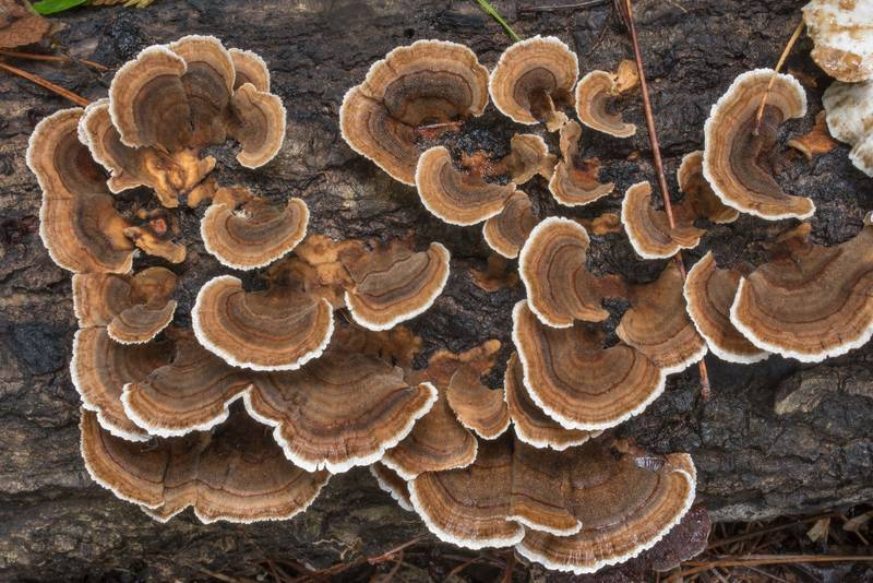 "Turkeytail mushrooms (<B>Trametes versicolor</B>) on Chinquapin Trail in Huntsville State Park. Texas, <A HREF=""../date-en/2020-09-24.htm"">September 24, 2020</A>"