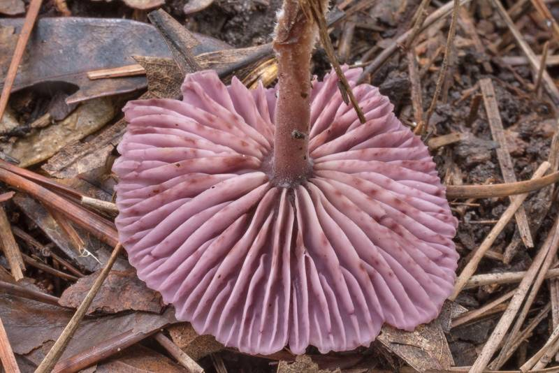 "Gills of a mushroom <B>Gymnopus iocephalus</B> on Chinquapin Trail in Huntsville State Park. Texas, <A HREF=""../date-en/2020-09-24.htm"">September 24, 2020</A>"