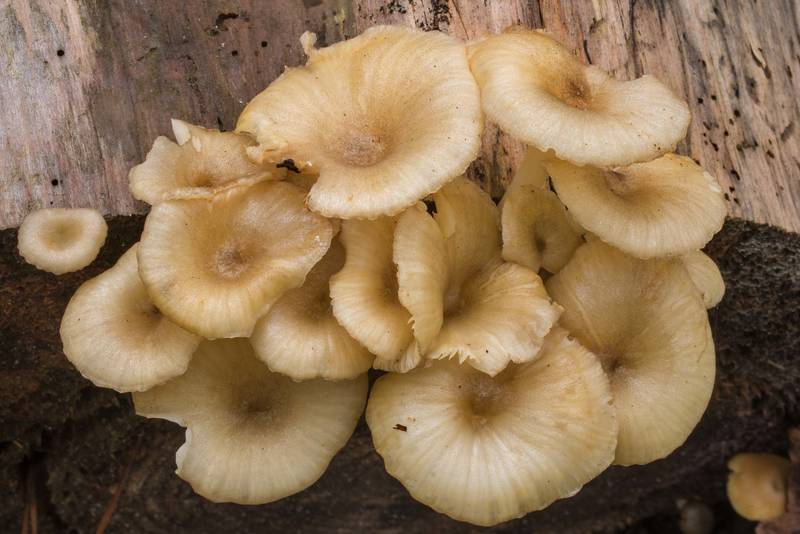 "<B>Gerronema strombodes</B> mushrooms on a pine log on Chinquapin Trail in Huntsville State Park. Texas, <A HREF=""../date-en/2020-09-24.htm"">September 24, 2020</A>"
