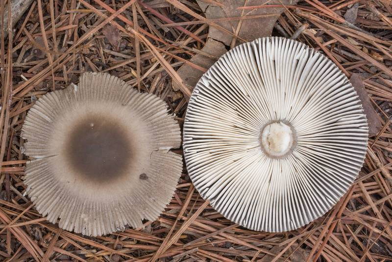 "Caps of grizette mushrooms (Amanita sect. Vaginatae), could be <B>Amanita luzernensis</B>(?), on Richards Loop Trail in Sam Houston National Forest. Texas, <A HREF=""../date-en/2020-09-25.htm"">September 25, 2020</A>"