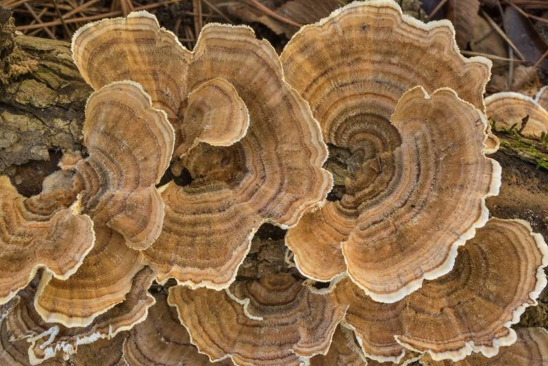 "Turkeytail mushrooms (<B>Trametes versicolor</B>) on a fallen oak branch on Caney Creek Trail (Little Lake Creek Loop Trail) in Sam Houston National Forest north from Montgomery. Texas, <A HREF=""../date-en/2020-09-26.htm"">September 26, 2020</A>"